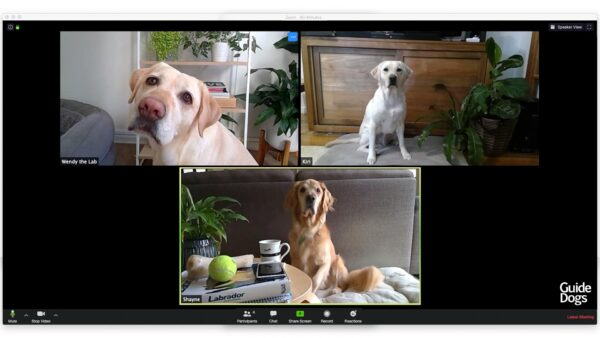 Adorable Guide Dogs Host Zoom Call