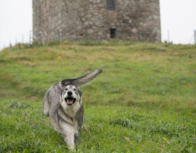 direwolf