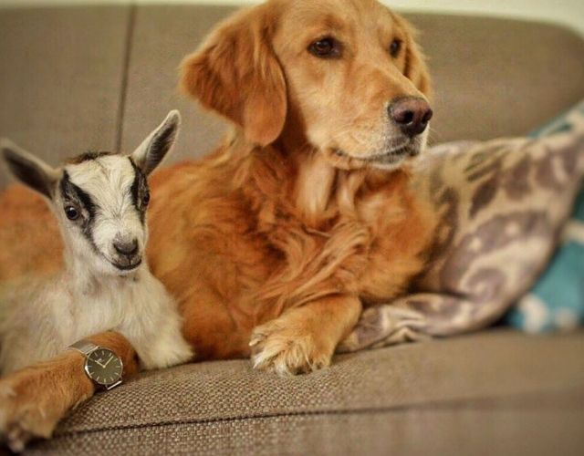 goat and dog