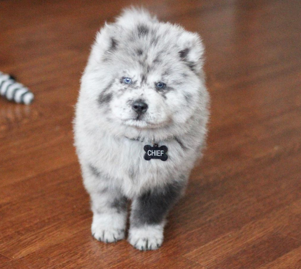 Chow Puppy Looks Like A Bowl Of Cookies Cream