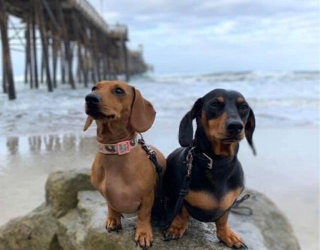 fedex pups