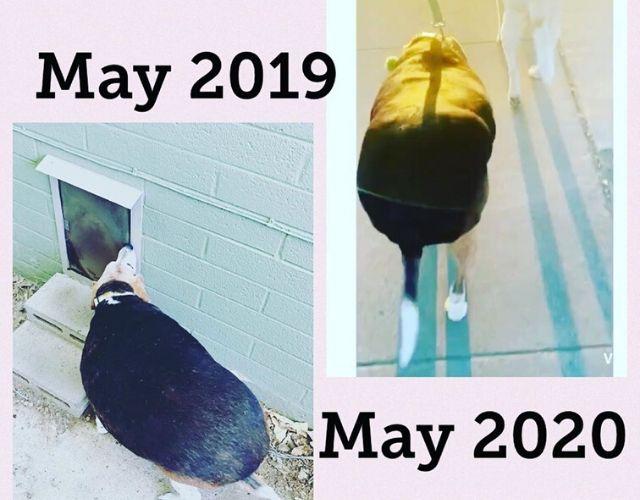 obese beagle