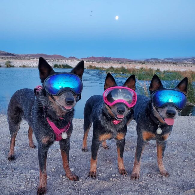 Dogs with goggles near lake
