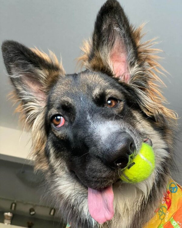 Dog Holding Tennis Ball