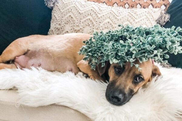 Dog Plant Maternity Photo