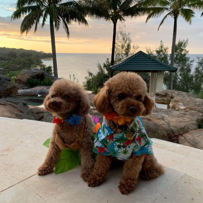 Toy Poodles in Hawaii