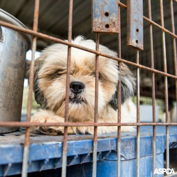 Shih Tzu in Puppy Mill