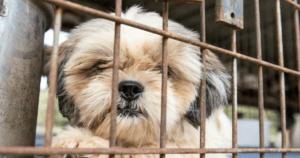 Shih Tzu in Puppy Mill