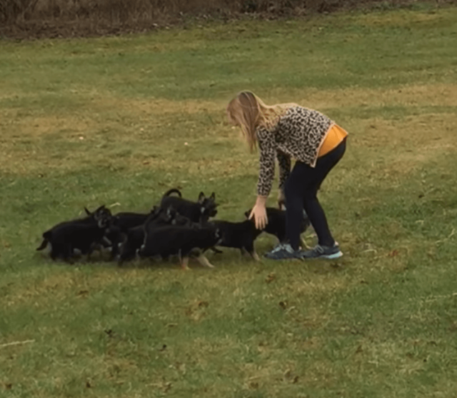 little girl and German Shepherd puppies