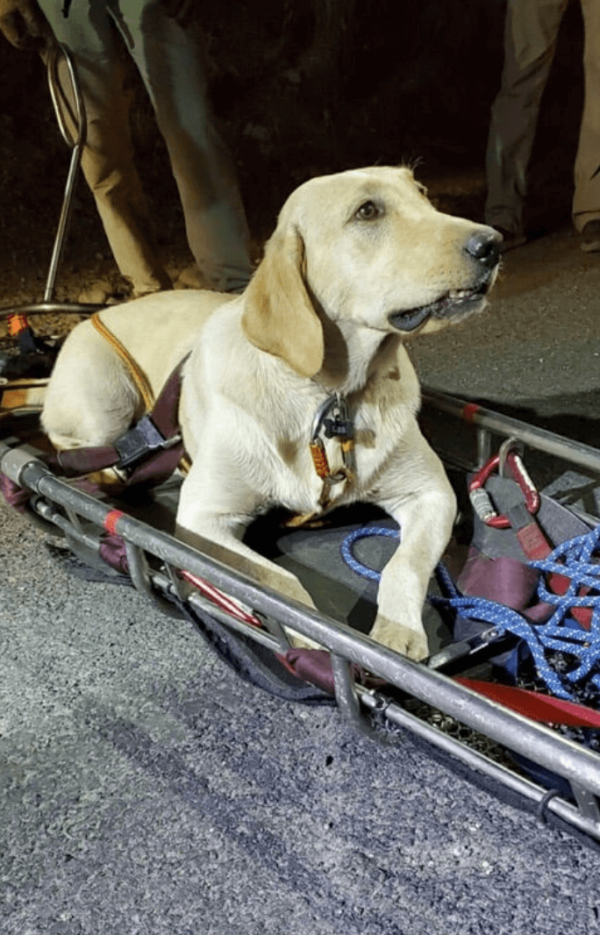 Labrador on Stretcher