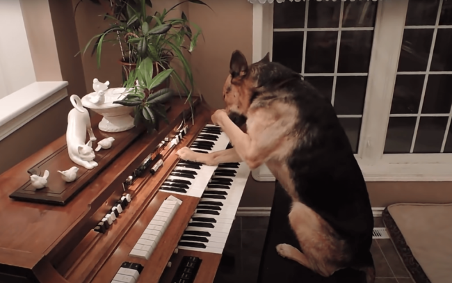 Embarrassed Dog Playing Piano