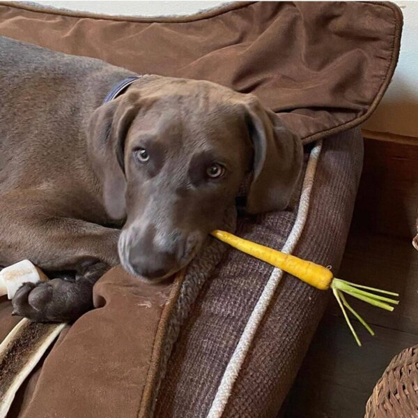 Dog Chewing Carrot