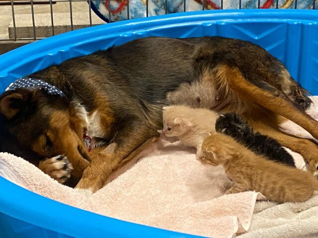 Dog with Adopted Kittens