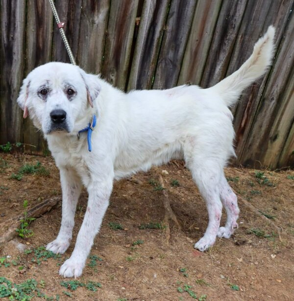 Great Pyrenees with Mange