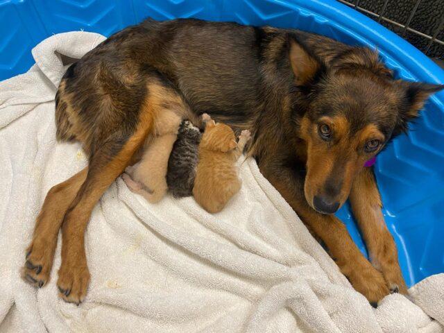 Mom dog with nursing kittens