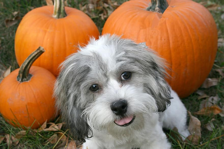 dog with pumpkins