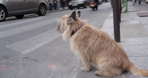Dog Waiting to Cross Road