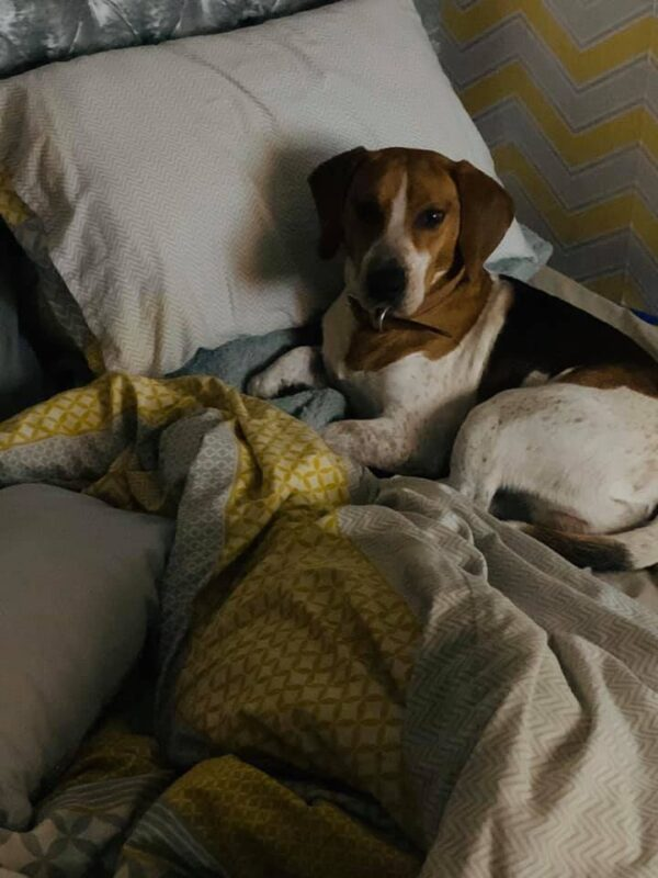 Beagle in bed