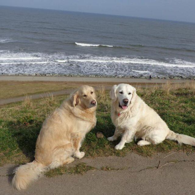 Golden Retrievers at Beach