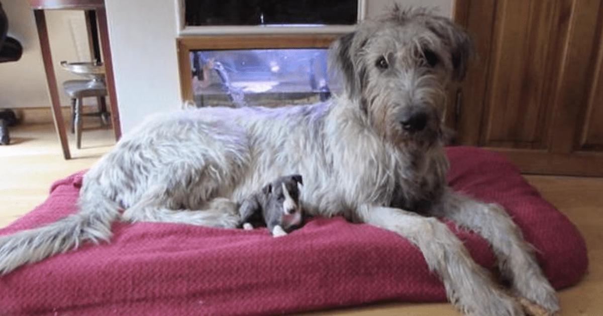 Irish Wolfhound featured