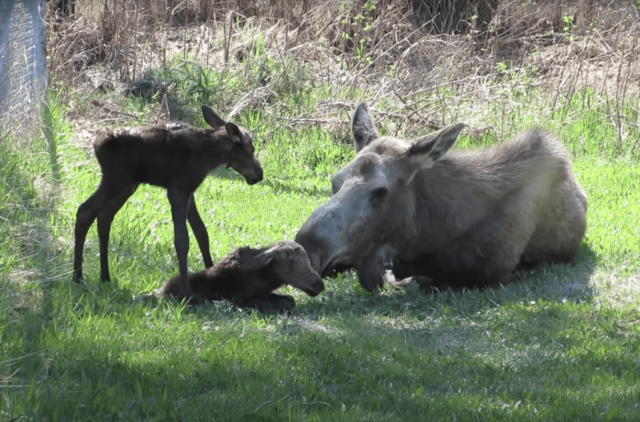 Moose and Twin Babies