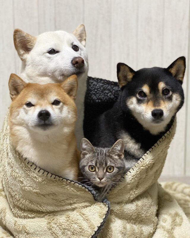 Shibas in Blanket