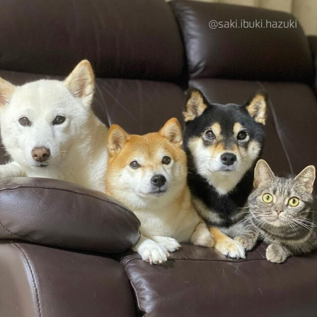 Shibas on couch