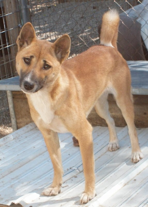 New Guinea Singing Dog Head Tilt