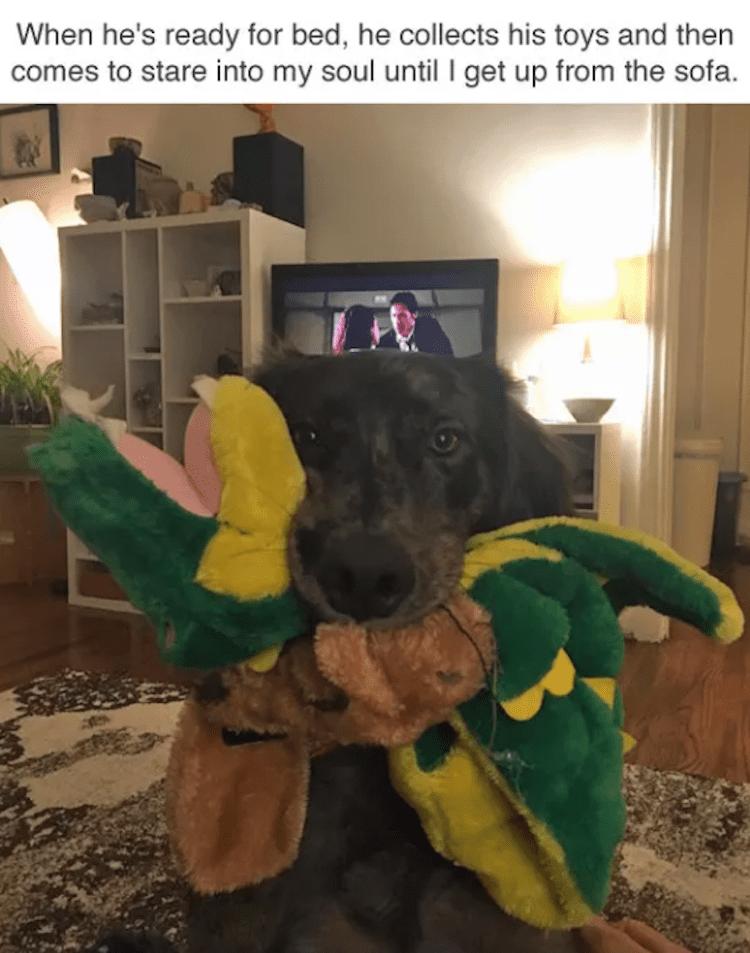 Dog holding toys