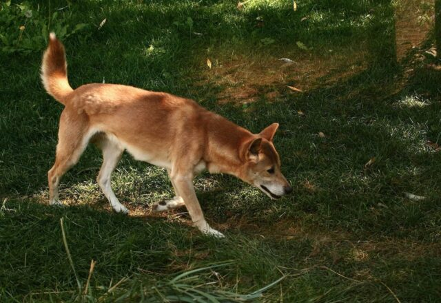 New Guinea Singing Dog Outside