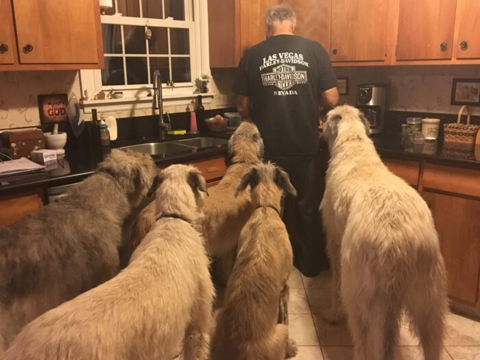 Patient_irish_wolfhounds