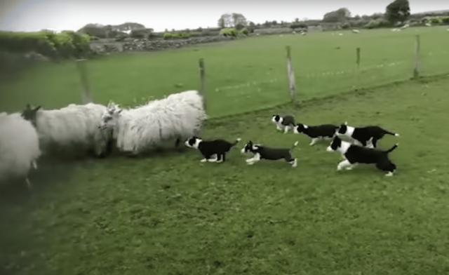 Puppies Herding Sheep