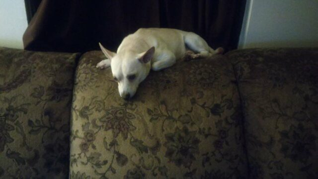Chihuahua on Couch