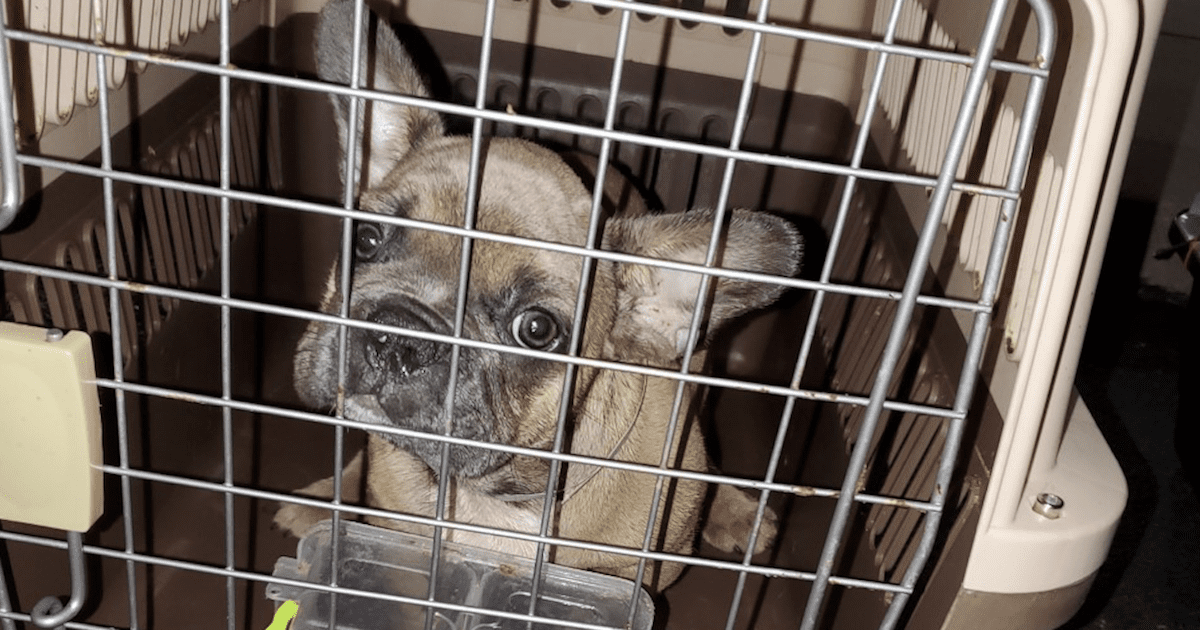 French Bulldogs Rescued