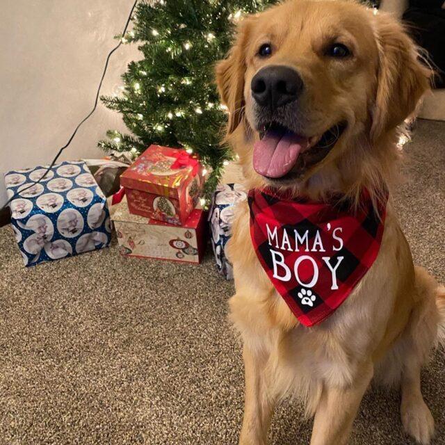 Golden Retriever Mama's Boy