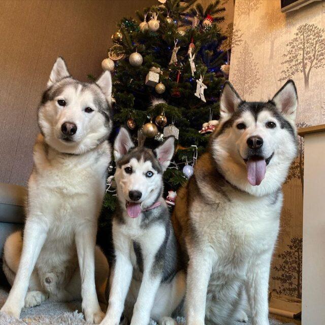 Husky Siblings