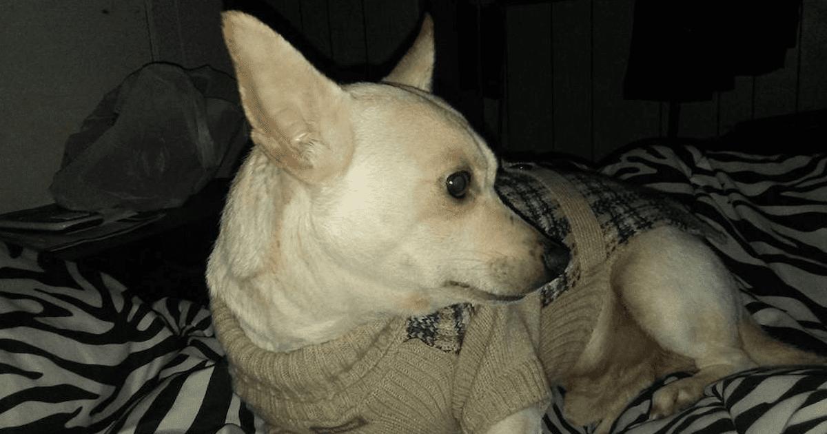 Lost Chihuahua