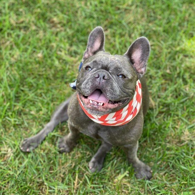 French Bulldog Pepper