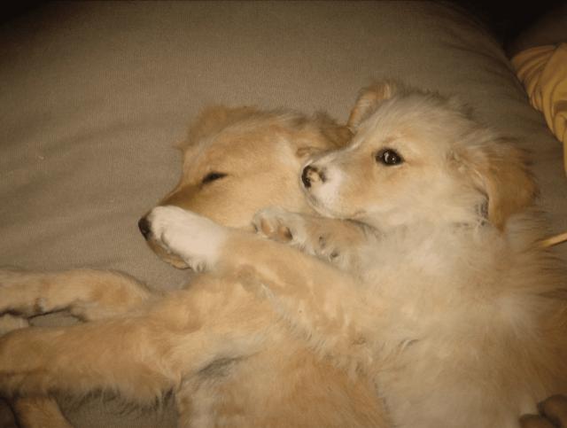Rescued Golden Retriever puppies