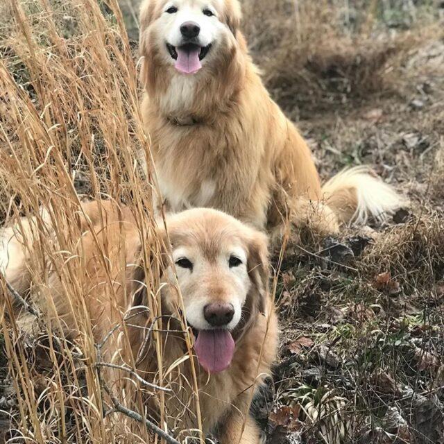Waylon and Jessi Golden Retrievers