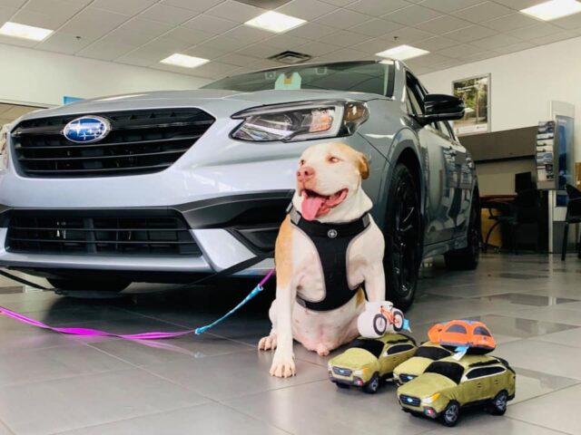 Adoptable Dog with Subaru