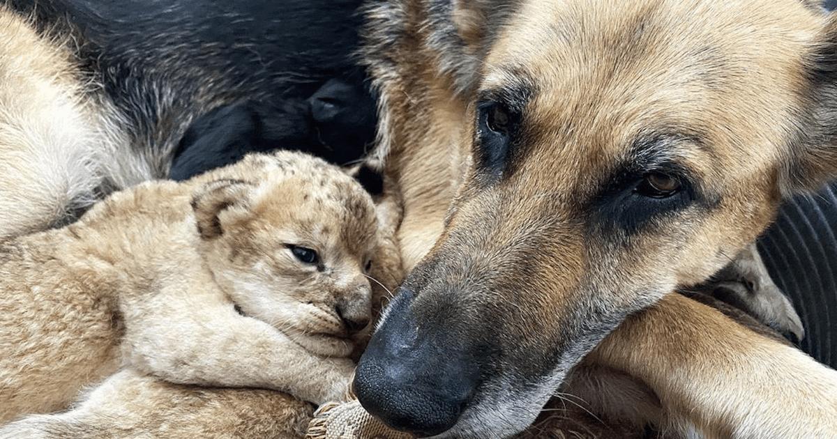 Dog and lion cub