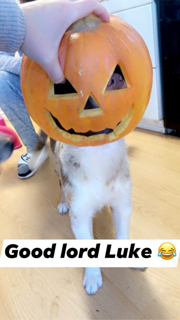 Pumpkin head dog