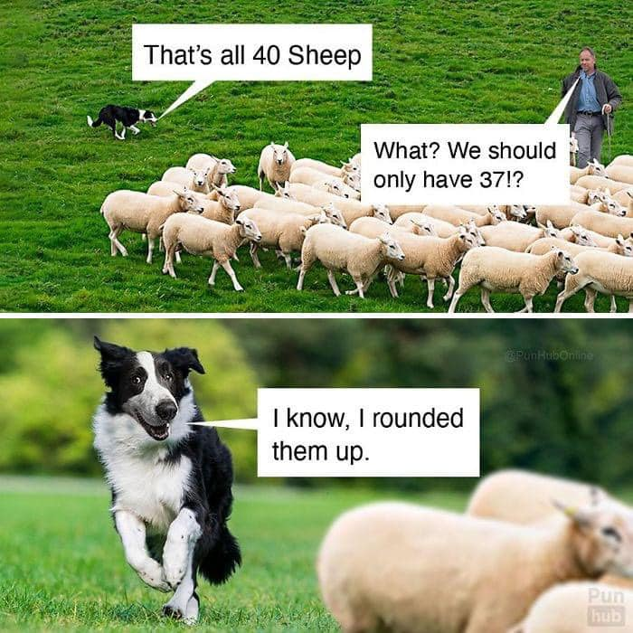 Rounding up sheep