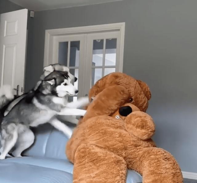 Husky Teddy Bear Prank