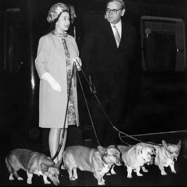 Walking royal Corgis
