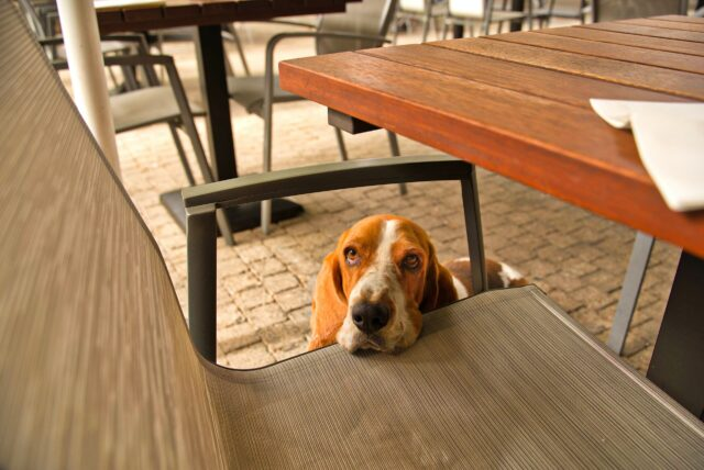 Basset Hound by chair