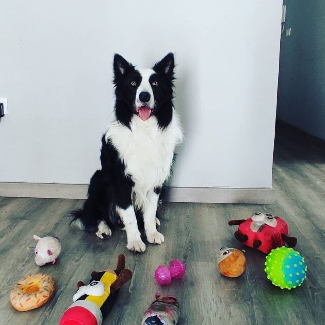 Border Collie surrounded by toys