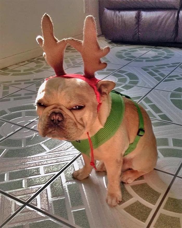 French Christmas Bulldog