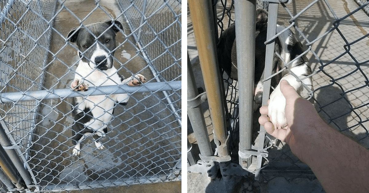 Pit Bull at shelter